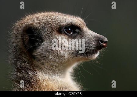 Close-up of the head of an alert South African Meerkat (Suricata suricatta) - Stock Photo