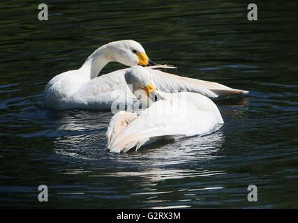 Male and female Eurasian Bewick's Swans (Cygnus bewickii, Cygnus columbianus bewickii) bathing and preening feathers - Stock Photo