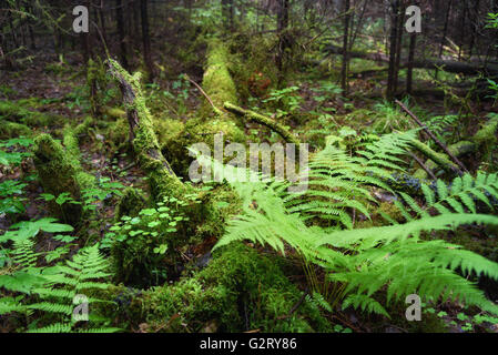 Fern, Wood Sorrel, Moss on tree in the forest. Selective focus - Stock Photo