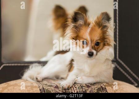 Puppy Papillon dog (Canis lupus familiaris) - Stock Photo