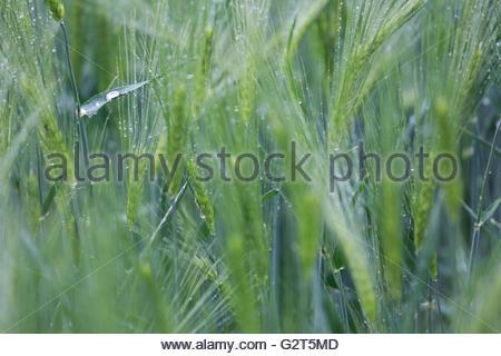 Large raindrop in a field of green, unripe corn - Stock Photo