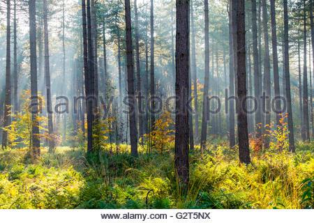 Light rays through trees in Hoge Kempen National Park in autumn, Limburg, Vlaanderen (Flanders), Belgium - Stock Photo