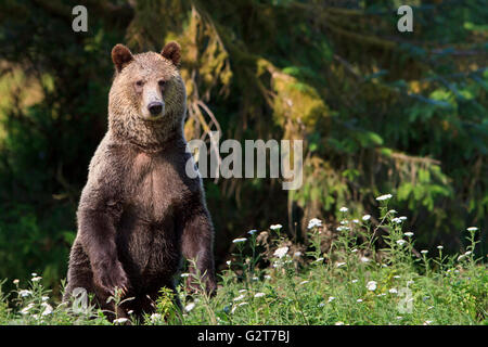 Coastal grizzly bear standing (Ursus arctos) at Glendale Cove, Knight Inlet, British Columbia, Canada. - Stock Photo
