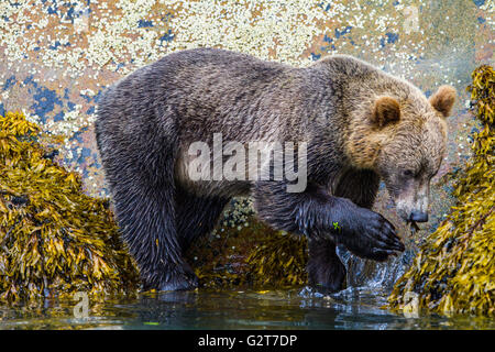 Grizzly bear foraging along low tide line, Knight Inlet, British Columbia - Stock Photo