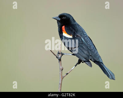 Male Red-winged Blackbird - Stock Photo