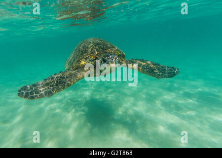 A underwater view of a sea turtle swimming in shallow ocean waters. - Stock Photo