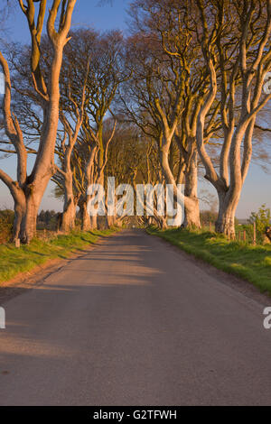 Rows with old trees along a road at the Dark Hedges in Northern Ireland. Photographed in early morning sunlight. - Stock Photo