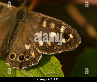A close-up of the wing of a Speckled Wood (Pararge aegeria) butterfly. - Stock Photo