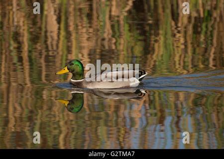 A male Mallard (Anas platyrhynchos) on a pond. - Stock Photo