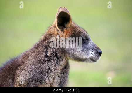 Red-necked or Bennett's wallaby (Macropus rufogriseus), portrait, captive - Stock Photo