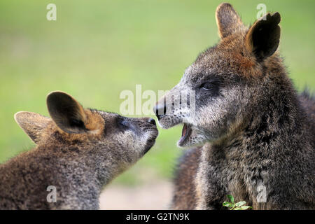 Red-necked or Bennett's wallabies (Macropus rufogriseus), captive - Stock Photo