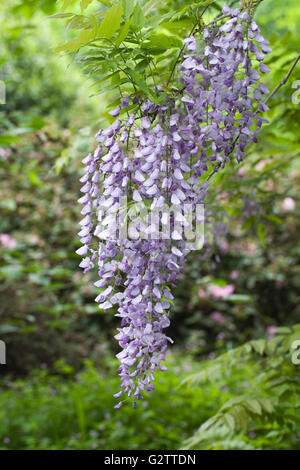 Wisteria sinensis flowers in the woods. - Stock Photo