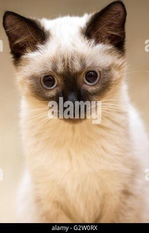 a little fluffy blue-eyed Siamese kitten sitting - Stock Photo