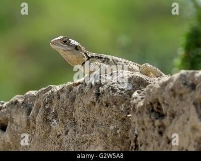 Gecko Lizard (infraorder Gekkota) on a rock,  Salamis, Famagusta, (Gazimagusa),  Northern Cyprus. - Stock Photo