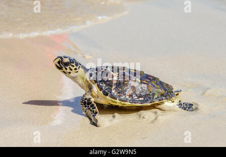 Dubai, UAE. 03rd June, 2016. Turtle Release Activity held in Jebel Ali Marine Sanctuary on June 3rd, 2016, Dubai - Stock Photo