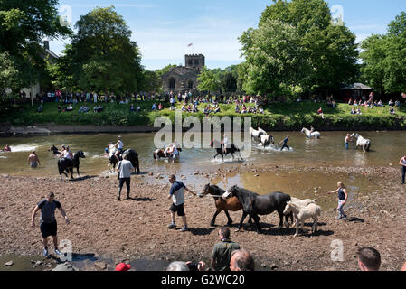 The traditional horse wash in the River Eden at Appleby Horse Fair, Cumbria, UK, 3rd June 2016 - Stock Photo