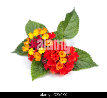 Colorful Lantana blossoms (Verbenaceae) on a white background - Stock Photo