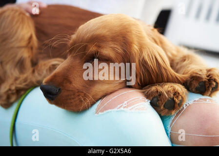 Close Up Of Cocker Spaniel Puppy Sleeping After Walk - Stock Photo