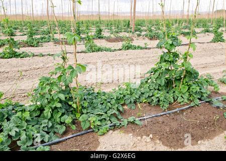 New spring growth, hop field under irrigation,  'Humulus lupus'. - Stock Photo