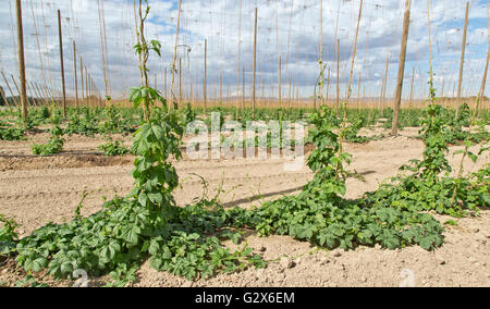 New spring growth, hop field  'Humulus lupus' . - Stock Photo
