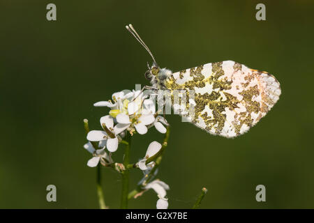 Male Orange Tip butterfly (Anthocharis cardamines) resting on Garlic Mustard (Alliaria petiolata), Cambridgeshire, - Stock Photo