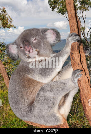 Koala in eucalyptus tree, New South Wales, Australia - Stock Photo