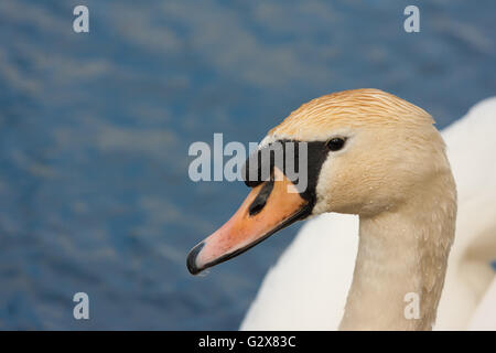 mute swan head up close - Stock Photo