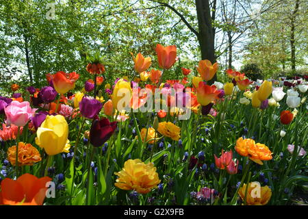 Spring tulips in colourful display - Stock Photo