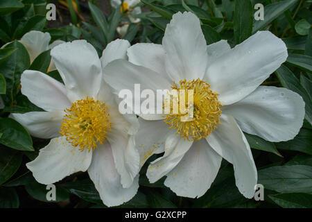 Two white peony peonies close up - Stock Photo