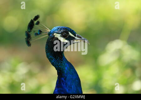 Close up of a blue male peacock - Stock Photo