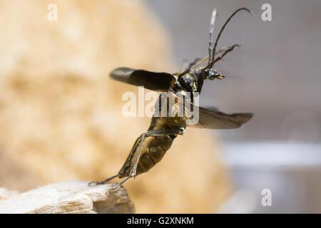 Stenocorus meridianus longhorn beetle taking flight. Insect in family Cerambycidae the longhorns or longicorn beetles - Stock Photo
