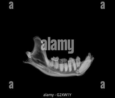 Side View X-ray of a lower jaw of a Hyaena on black background - Stock Photo