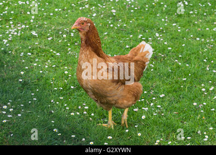 Single brown hen on green meadow pasture daisy looking - Stock Photo