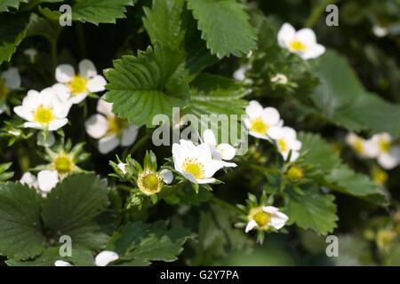 Fragaria × ananassa. Strawberry 'Alice' flowers.