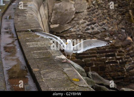Seagull landing on sea wall with wings outstretched - Stock Photo