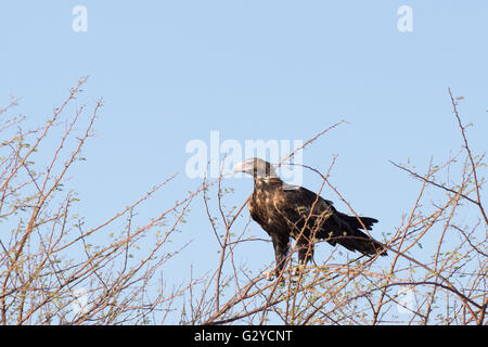Australian wedge tailed eagle sitting on tree in outback Australia - Stock Photo