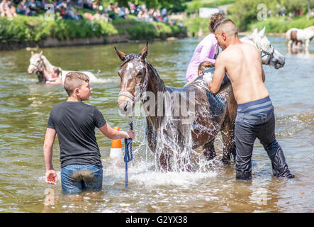 Appleby-in-Westmorland, Cumbria, UK. 6th June 2016. Travellers wash their horses in the river Eden prior to selling - Stock Photo