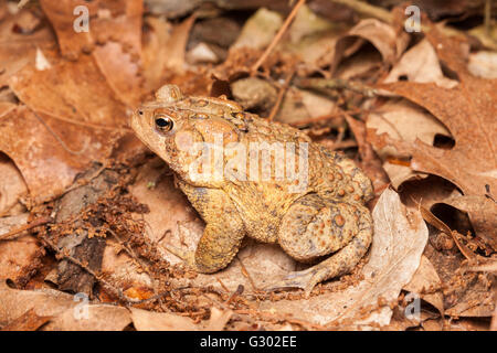 An American Toad, subspecies Eastern American Toad (Anaxyrus americanus americanus), sits among dead leaves on the - Stock Photo