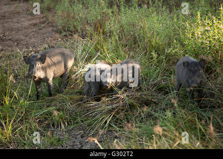 Sri Lanka, wildlife, Yala National Park, wild boar family in mud - Stock Photo