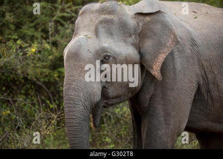 Sri Lanka, wildlife, Yala National Park, head of wild elephant Elephas maximus, walking close - Stock Photo