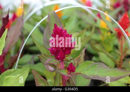 Celosia  Kimono Red feather flowers - Stock Photo