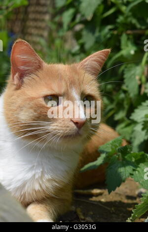 Ginger cat with white bib looking focused and alert next to catnip plant - Stock Photo