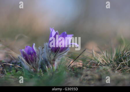 Pasque flower (Pulsatilla grandis) .The first spring flower on meadow. - Stock Photo