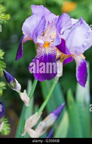 A Bearded Iris ( Iris germanica ) in bloom in early summer UK - Stock Photo