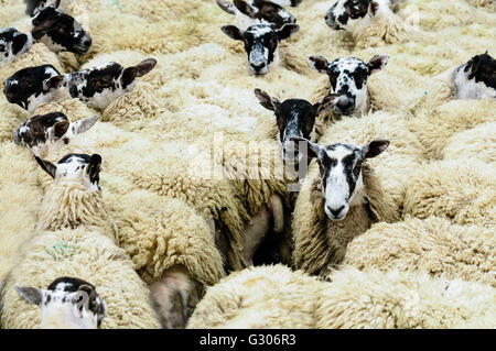 Flock of North Country Mule sheep close together in a pen. - Stock Photo