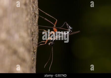 A female Ichneumon Wasp (Podoschistus vittifrons) oviposits (lays eggs) in the larvae of wood wasps in the trunk - Stock Photo