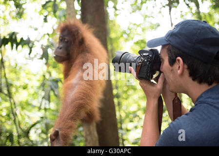 Photographer taking a photo of an Orangutan in the jungle of Gunung Leuser National Park, Bukit Lawang, North Sumatra, - Stock Photo