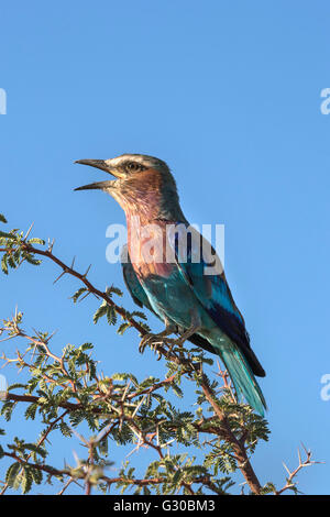 Lilac-breasted roller (Coracias caudatus), Kgalagadi Transfrontier Park, Northern Cape, South Africa, Africa - Stock Photo