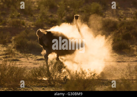 Ostrich (Struthio camelus) dustbathing, Kgalagadi Transfrontier Park, South Africa, Africa - Stock Photo