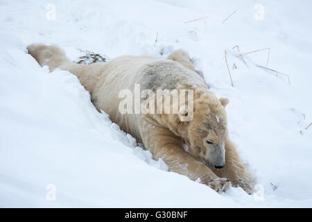 Polar bear (Ursus maritimus) male, captive, Highland Wildlife Park, Kingussie, Scotland, United Kingdom, Europe - Stock Photo